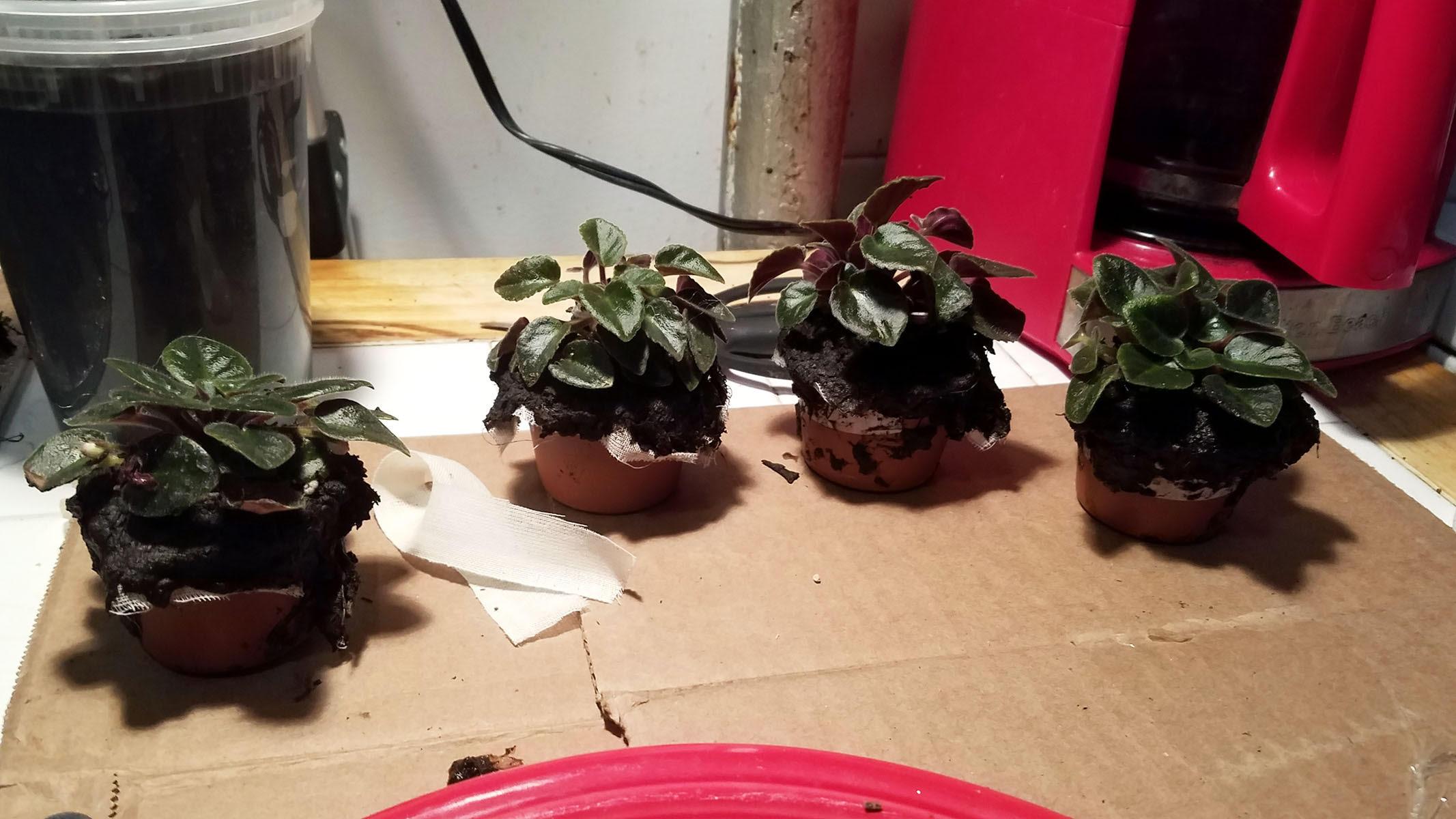 prepped african violets