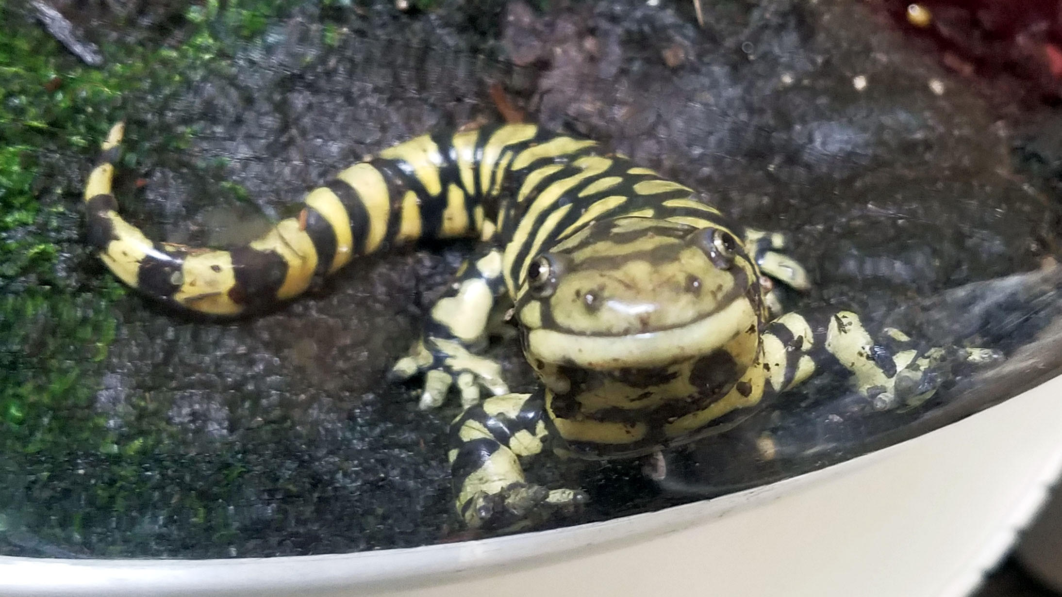 ada the tiger salamander